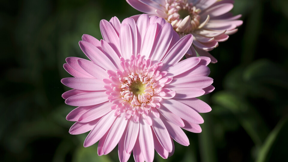 gerbera, greenhouse, hydroponic, growing,